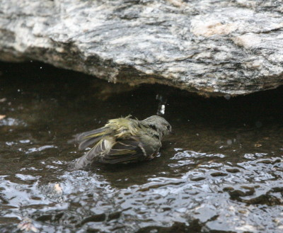水浴びするルビーキクイタダキ2