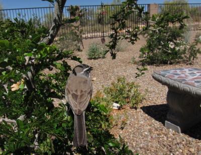 庭木に止まるノドグロヒメドリ