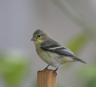 ヒメキンヒワの幼鳥