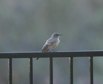 庭を訪れる鳥たち(南アリゾナ)...