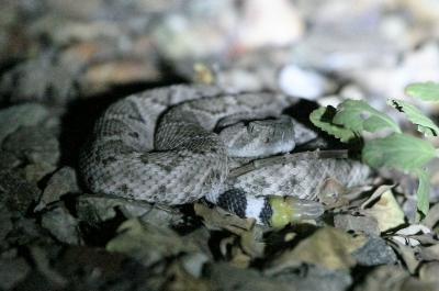 ガラガラヘビの子供