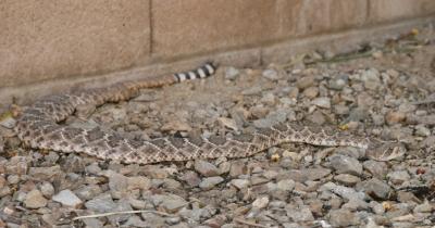 ガラガラヘビの大人