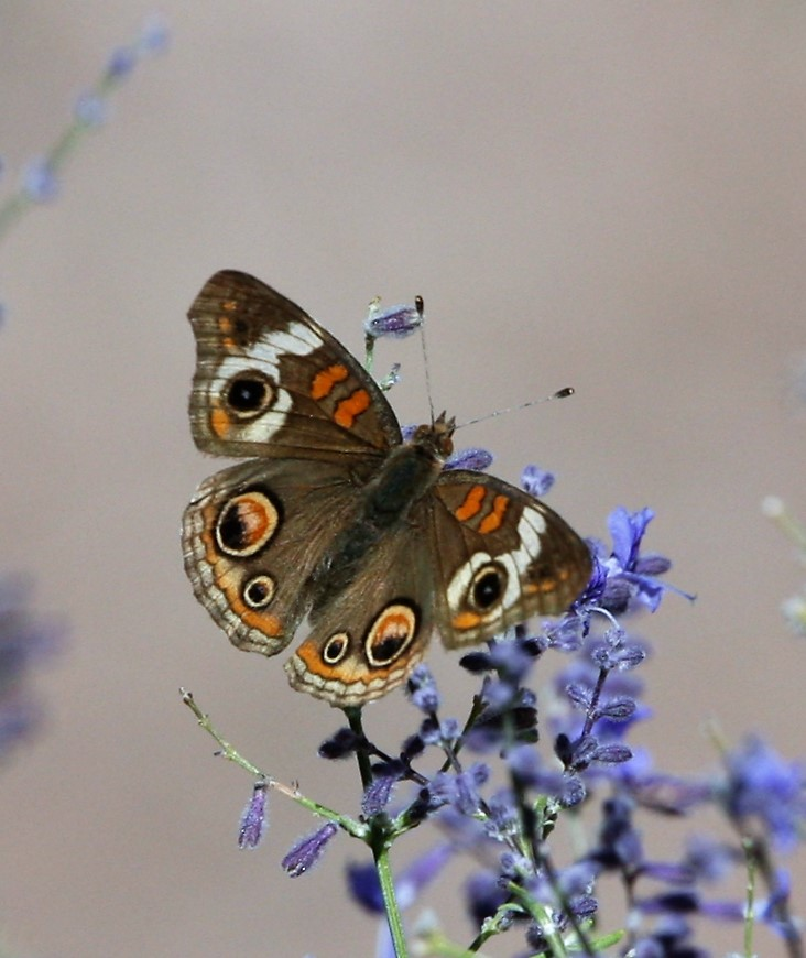 Buckeye - Butterfly