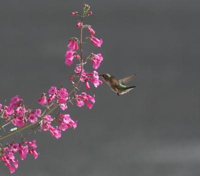 コスタハチドリとペンストムの花