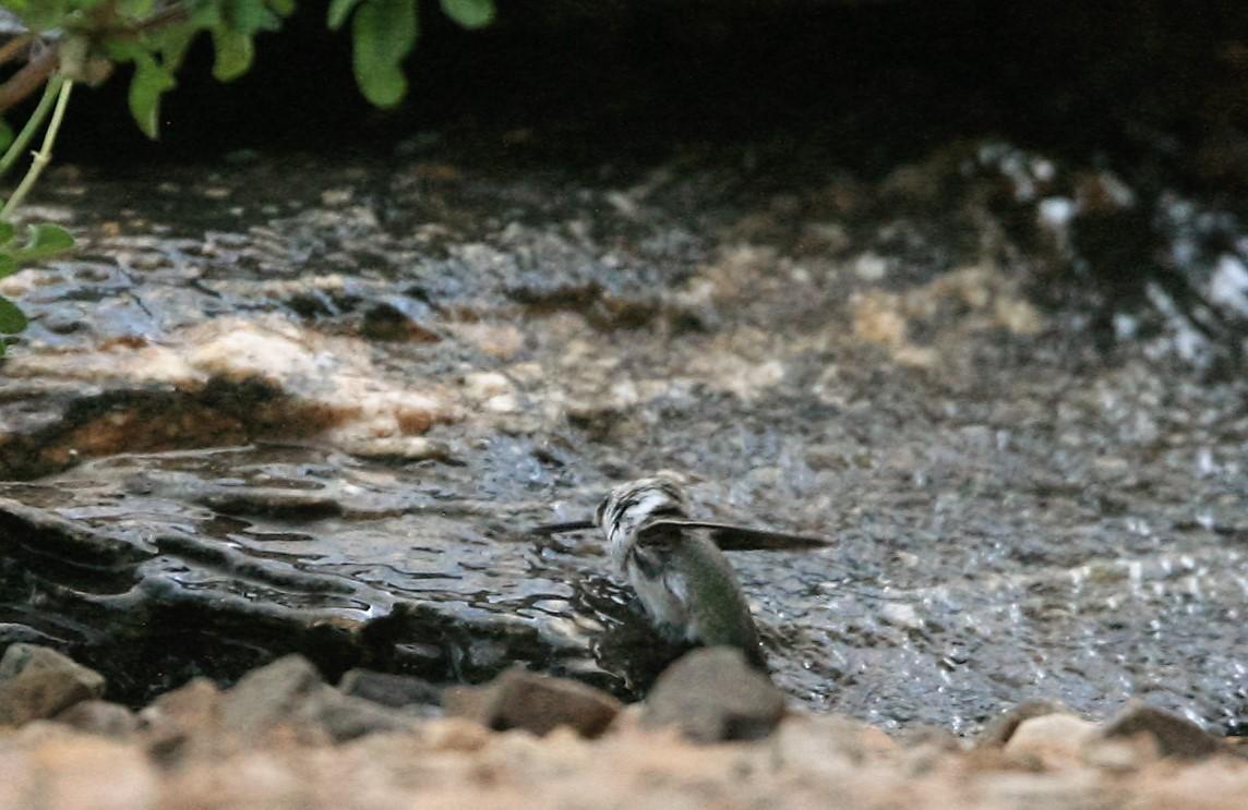 コスタハチドリ滝の水浴び