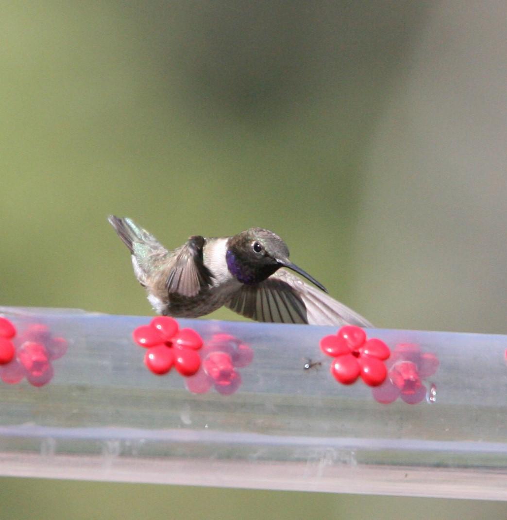 フィーダーのノドグロハチドリ 1