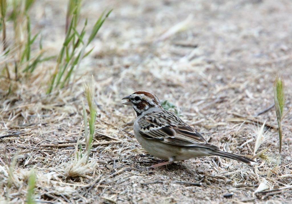 Lark Sparrow 1