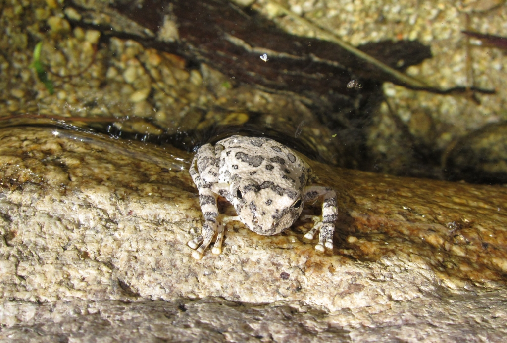 Canyon Treefrog 2