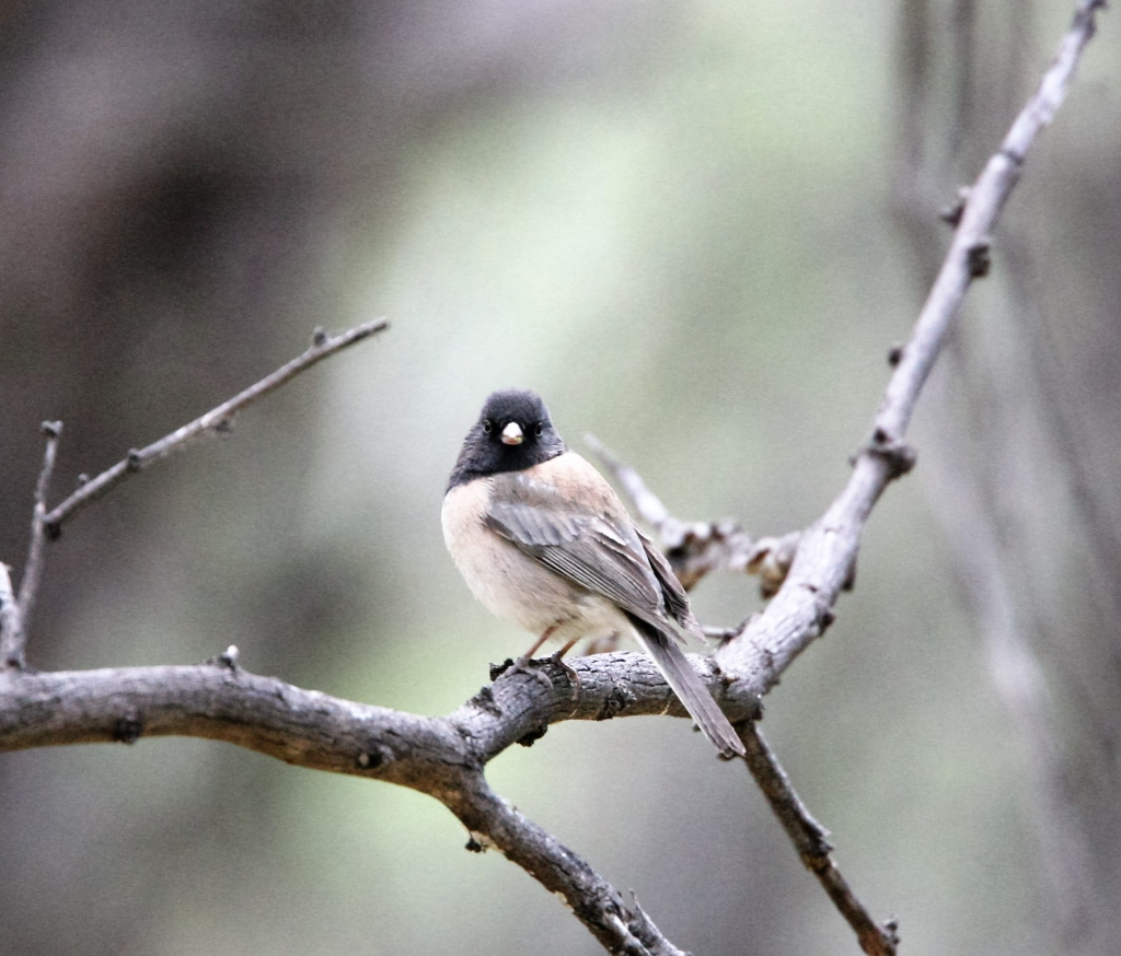 Oregon Junco - Pale