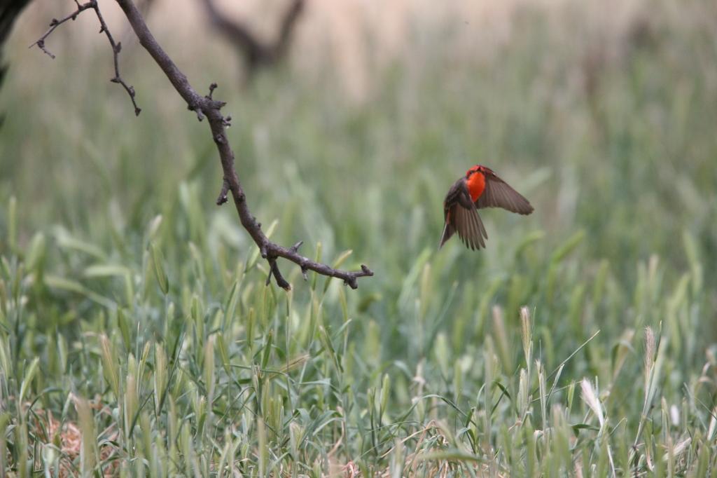 ベニタイランチョウ飛ぶ姿