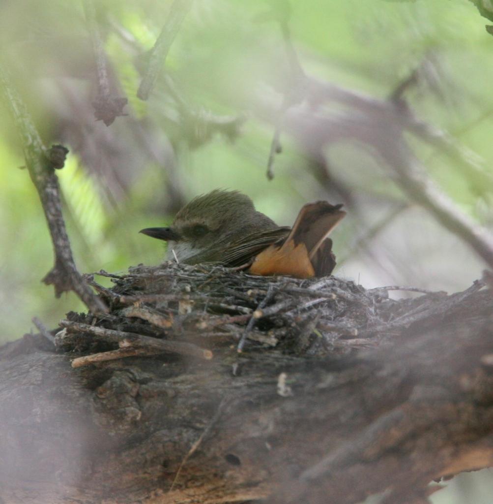 ベニタイランチョウ巣に座る