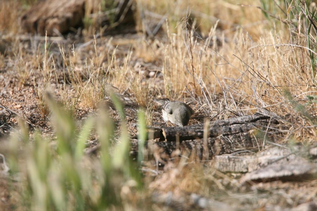 ハイイロメジロハエトリ地上採餌