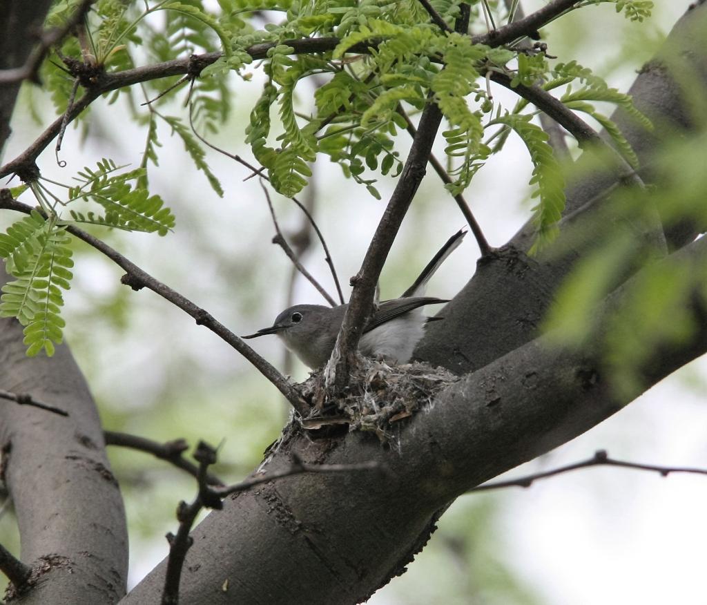 ブユムシクイ巣作り