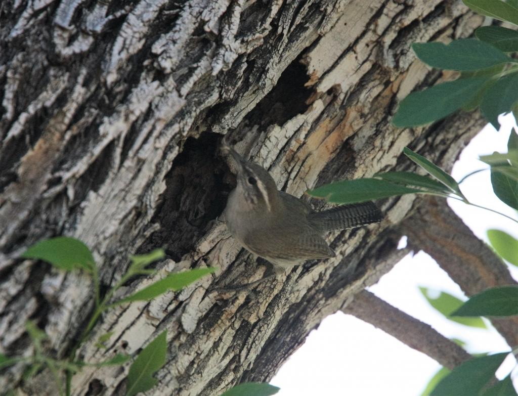 シロハラミソサザイと巣
