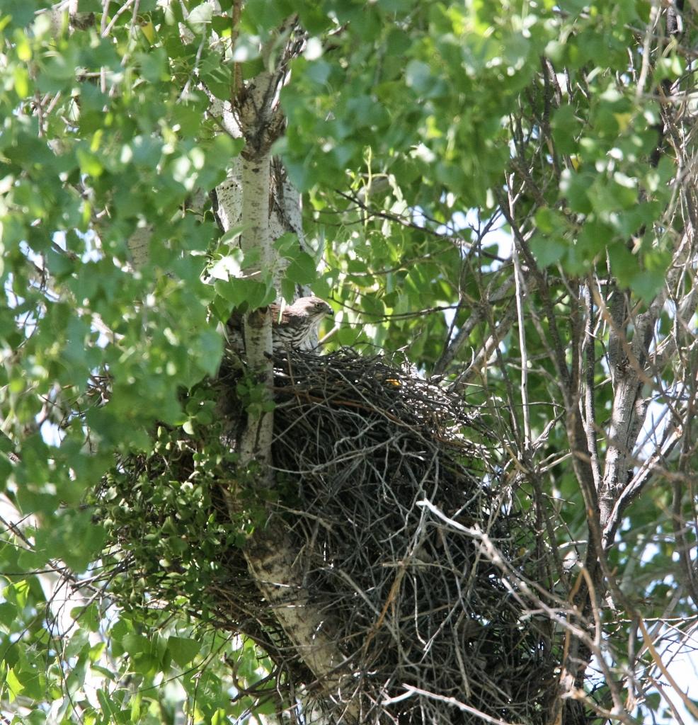 クーパーハイタカと巣