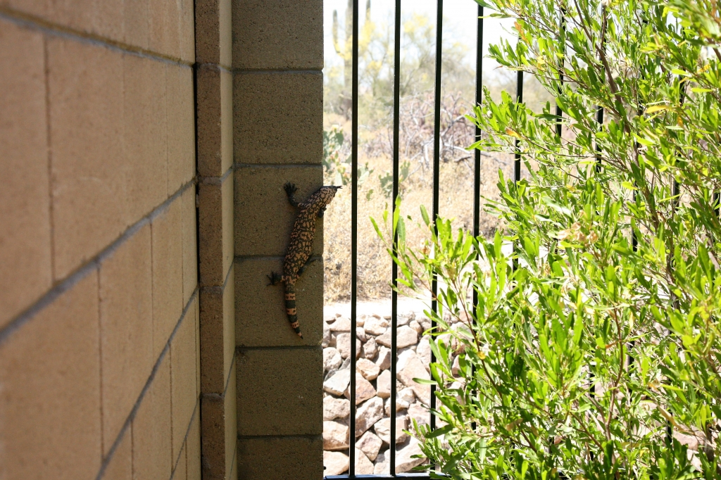 Gila Monster 2