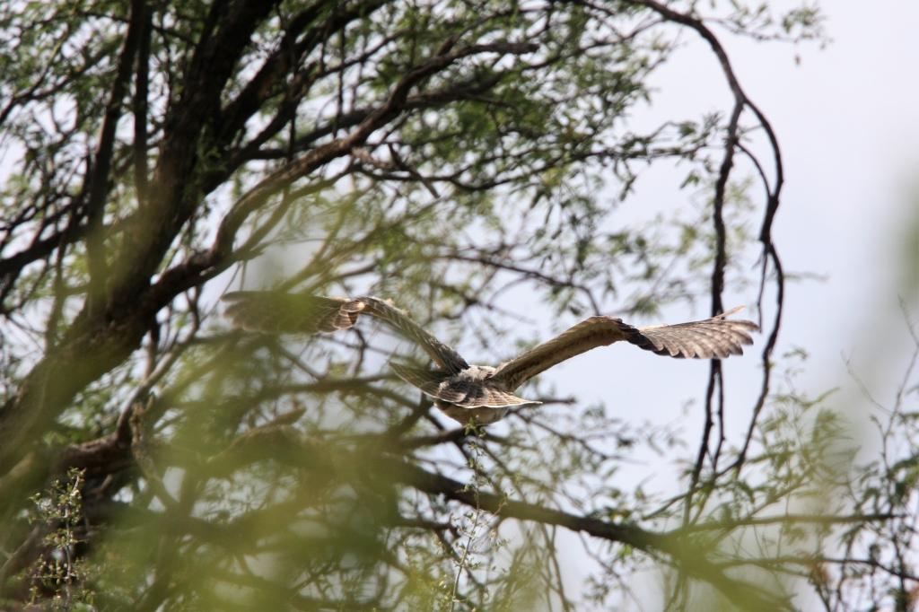 ワシミミズク雛飛ぶ姿