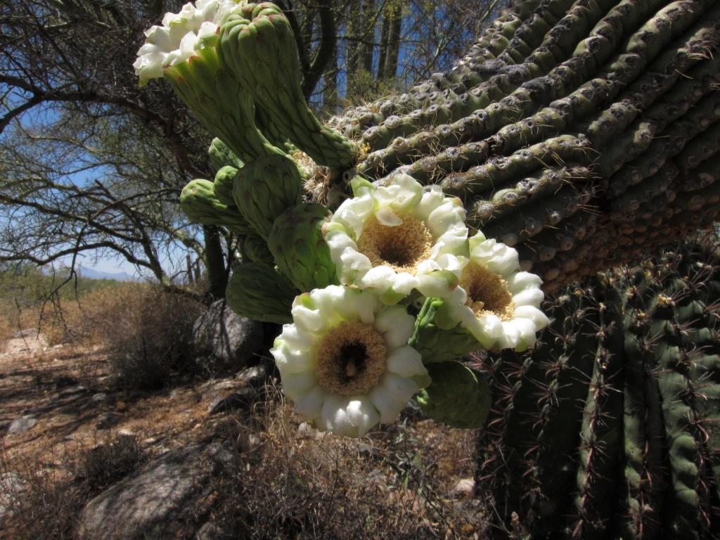 サワーロ5つの花