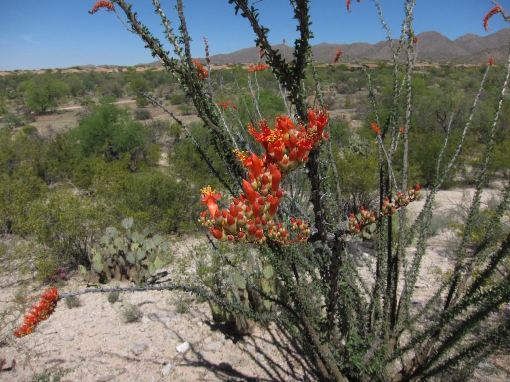 Flower of Ocotillo