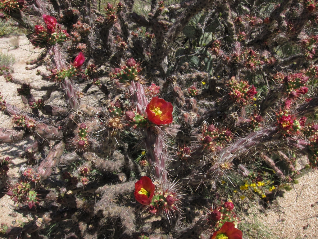 Flower of Staghorn Cholla