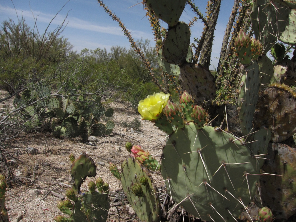 flower of Engelmann Prickly Pear