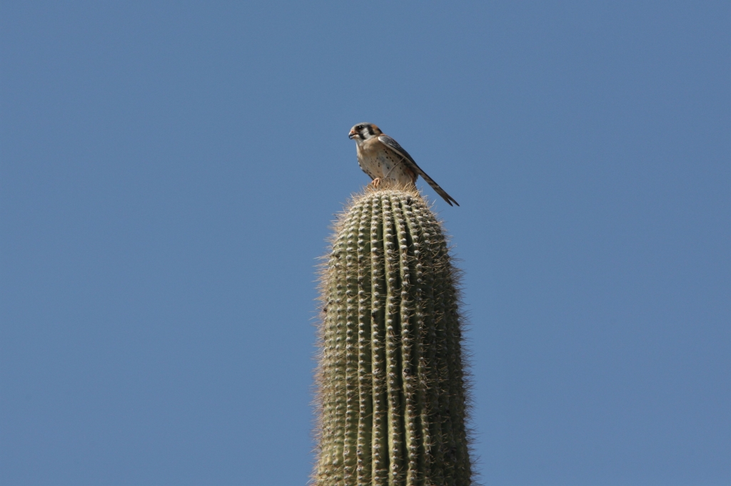 American Kestrel on Saguaro