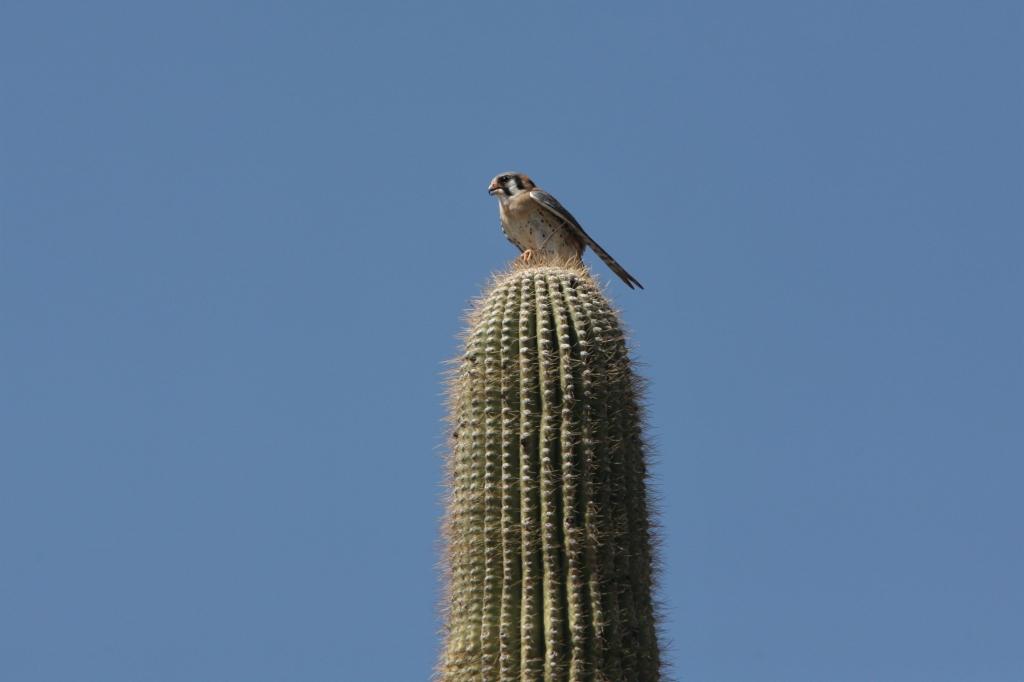 American Kestrel on Saguaro