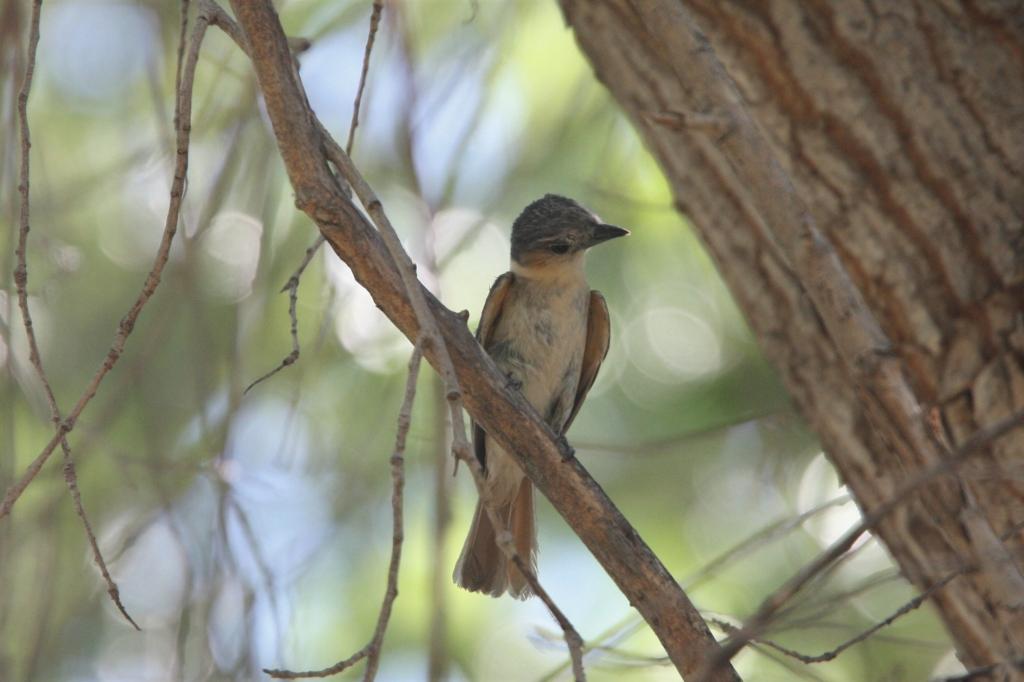 バラノドカザリドリモドキ雌