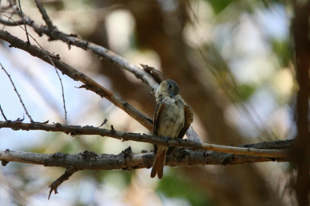 羽繕いするカザリドリモドキ雌
