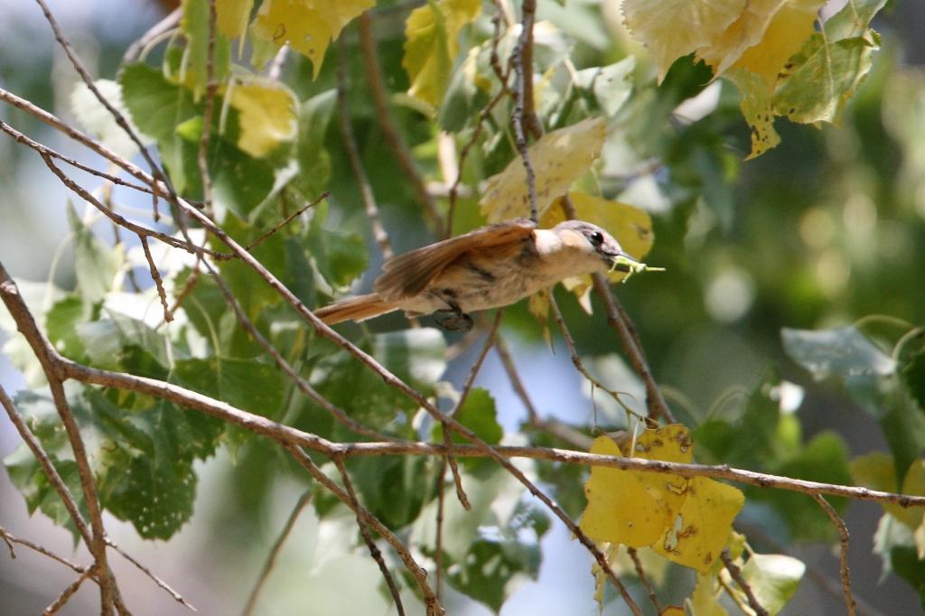 カザリドリモドキ雌の