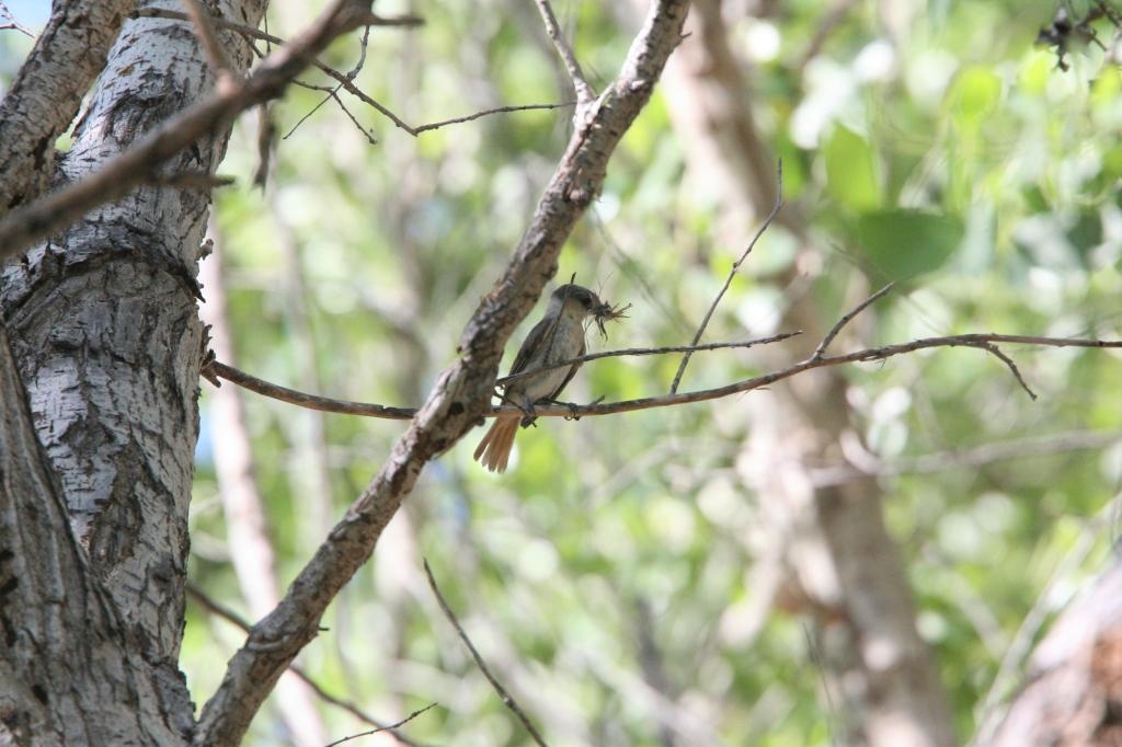 巣材運ぶバラノドカザリドリモドキ雌