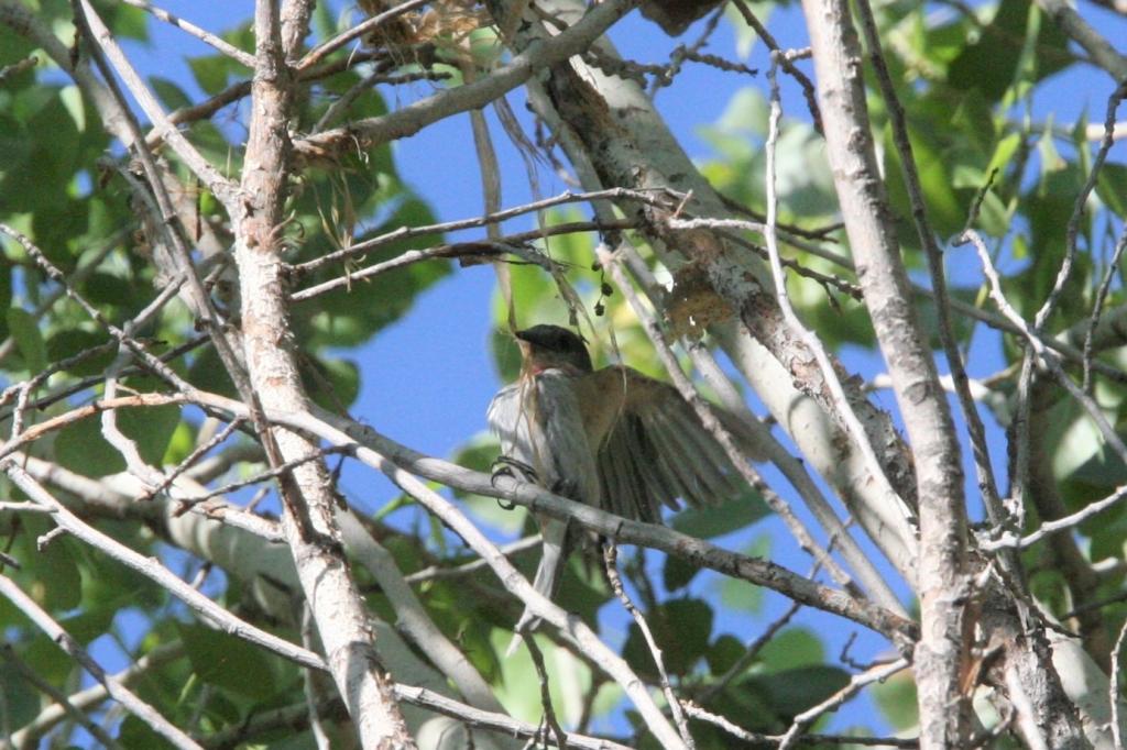 巣材を引っ張るバラノドカザリドリモドキ雄