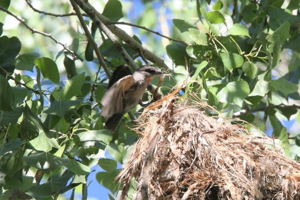 巣の屋根作りの雄