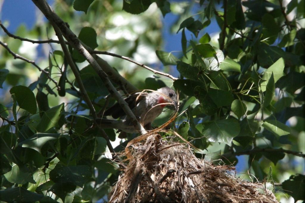 樹皮を巣に押し込む雄