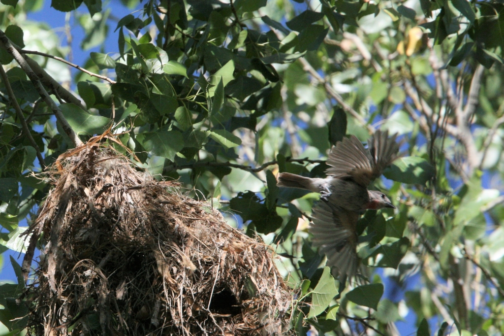 バラノドカザリドリモドキ雄の飛翔