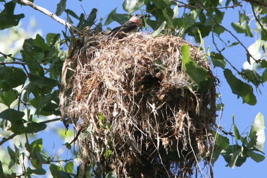 巣の上で葉を差し込む雄