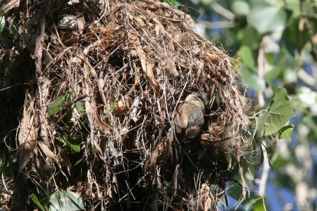 巣の出入り口を作る雌