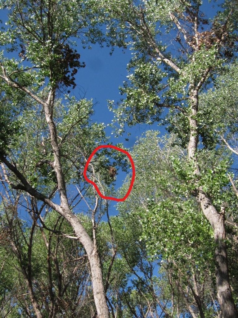 バラノドカザリドリモドキの巣