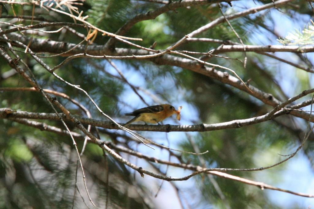 フサボウシハエトリ蛾を捕える