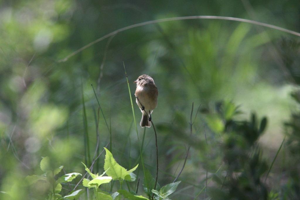 ウスチャメジロハエトリ草に止まる