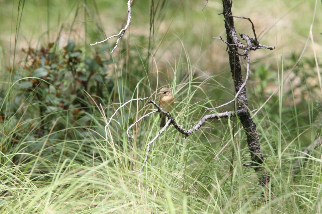 ウスチャメジロハエトリ草の虫を探す