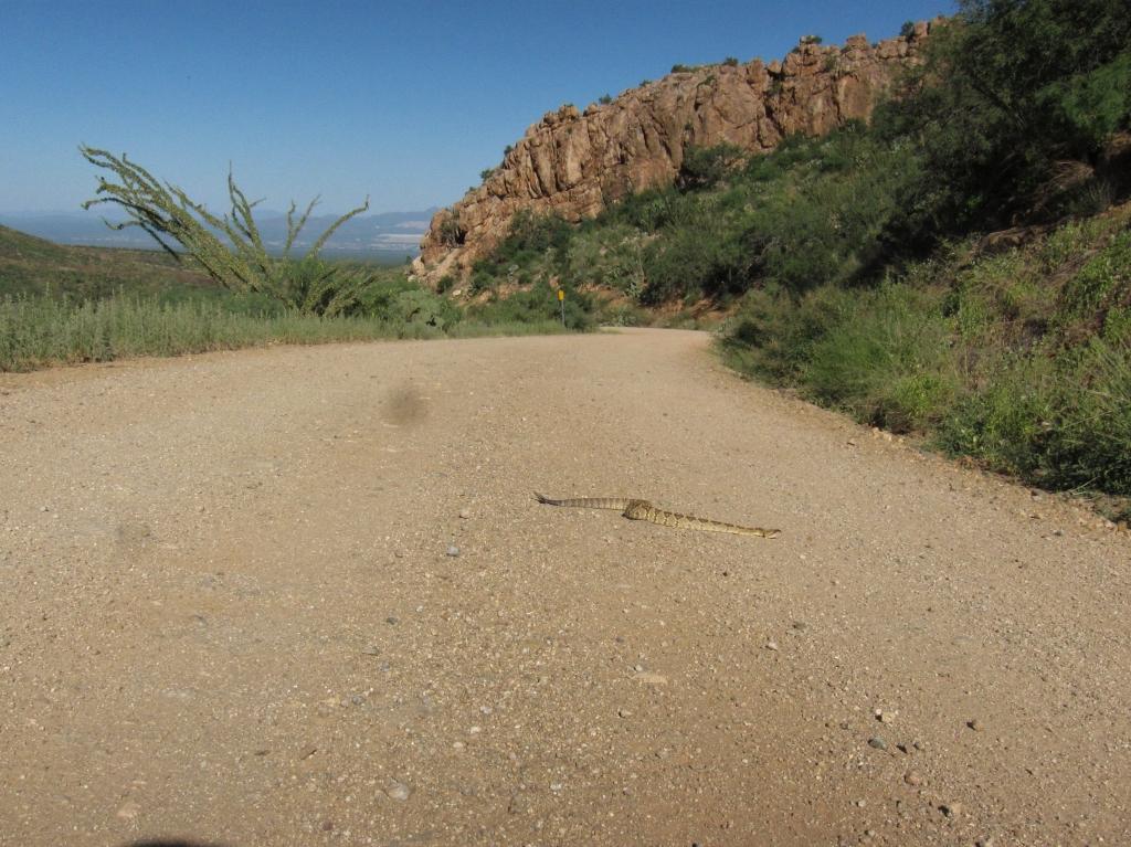 風景車道のガラガラヘビ