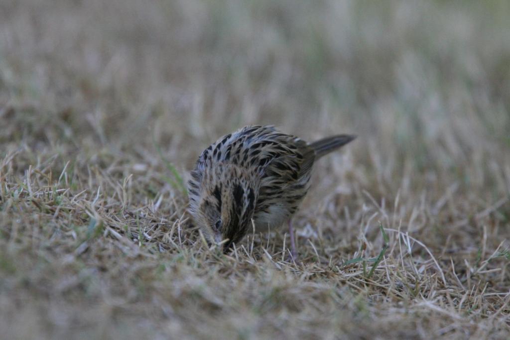 シロスジヒメドリ芝生に嘴入れる