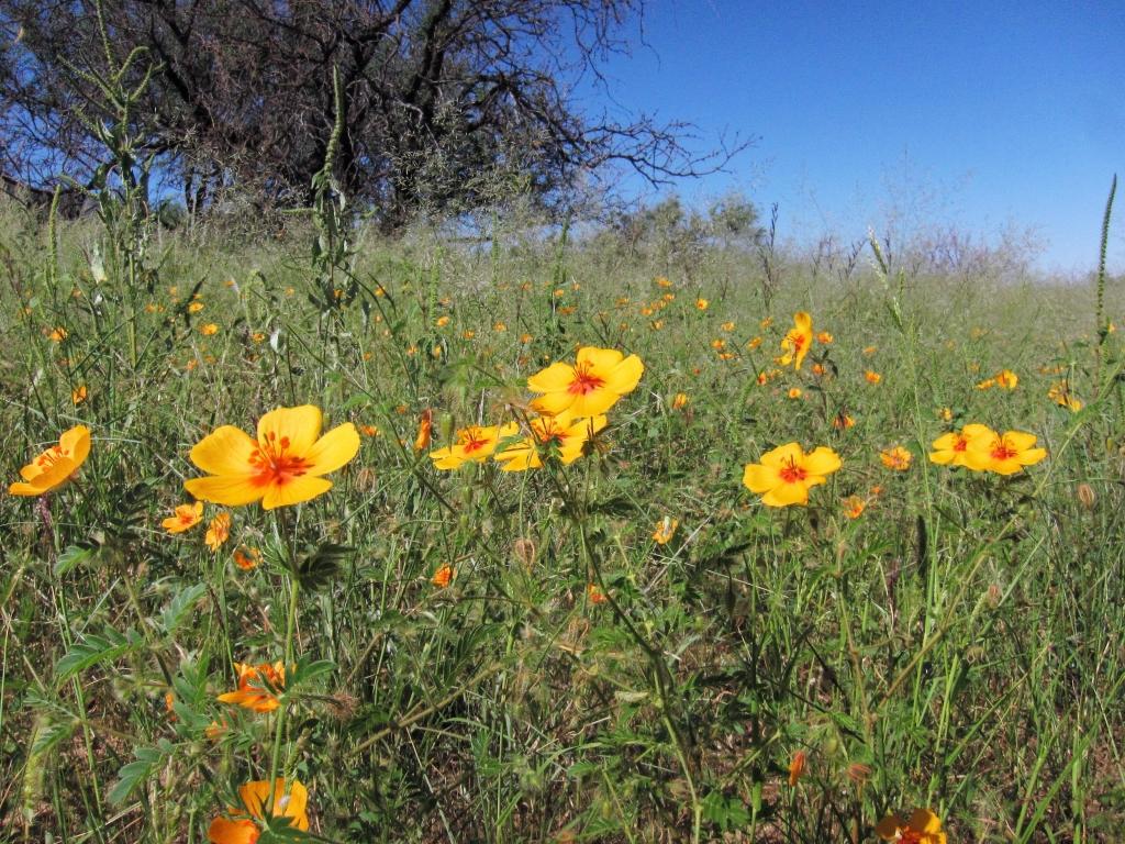 花、アリゾナポピー