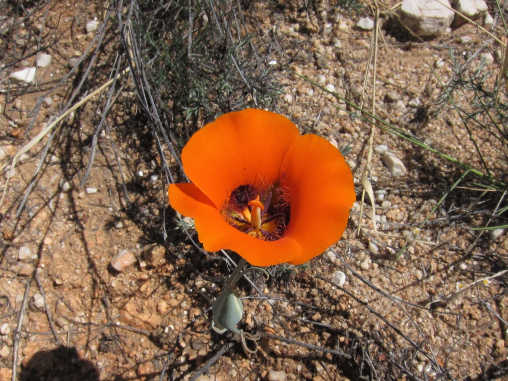Desert Mariposa