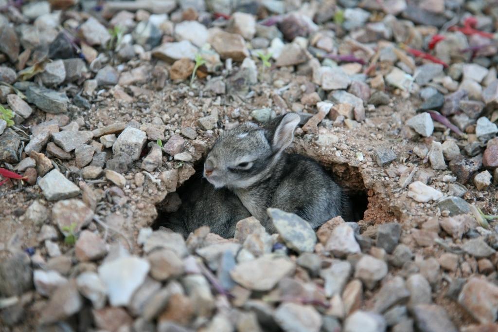 ワタオウサギの子穴から出る