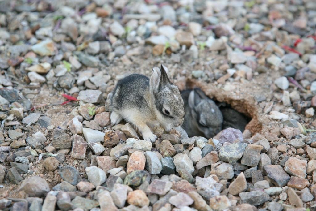 ワタオウサギの子歩く1