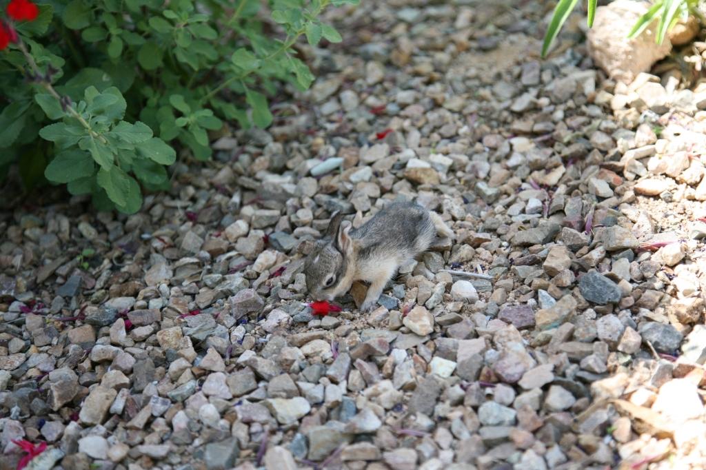 ワタオウサギの子花食べる