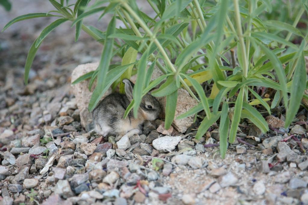 ワタオウサギの子岩陰で眠る