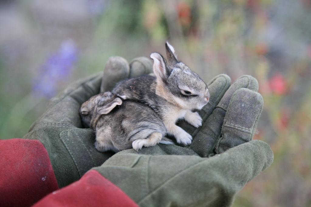 手のひらで眠るワタオウサギの子2匹